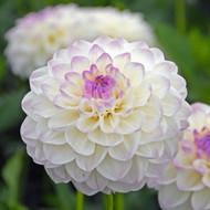 Dahlia, Eveline, White Dahlia, Purple Dahlia, dahlia, tuber