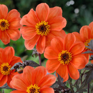 Dahlia, orange dahlia, Bishop, Bishop of Oxford, tuber, dahlia tuber