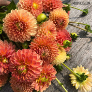 Dahlia, orange dahlia, Beatrice, tuber, dahlia tuber