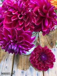Dahlia, Purple Dahlia, Diva, tuber, dahlia tuber
