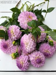 Dahlia, lavender dahlia, Bistro, Bistro Dahlia, Ball Dahlia, tuber, dahlia tuber