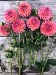 Dahlia, peach dahlia, Linda's Baby, Ball Dahlia, tuber, dahlia tuber