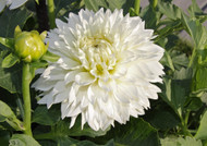 white dahlia, dahlia, gitts attention