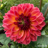 fur elise, dahlia, orange dahlia, peach flower