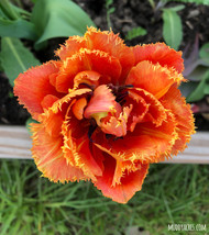 sensual touch, fringe tulip, apricot tulips