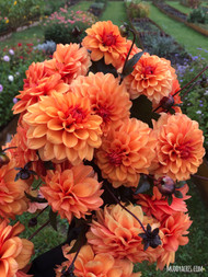 david howard dahlia, dahlia, orange flower, tuber