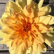 Big Brother Dahlia, Big Brother, Dahlia, Yellow, Orange, Dinnerplate, tuber, dahlia tuber