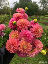 princess elisabeth, dahlia, pink dahlia, pretty dahlia, tuber, dahlia tuber