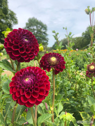 Downham Royal, Dahlia, Red Dahlia, Burgundy Dahlia, Downham Royal Dahlia, tuber, dahlia tuber