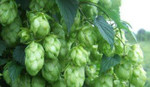 Chinook Hop Rhizome (Limited Stock)