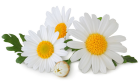 spring-daisy.png