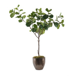 Fiddle-Leaf Fig A