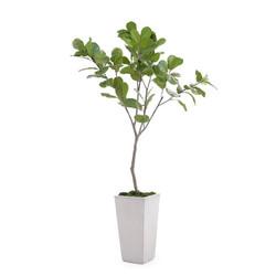 Tarro Fig Tree