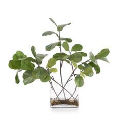 Garden Fig