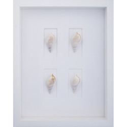 Tibia White Shells