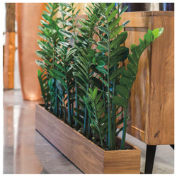 Zamifolia Plants in Rectangle Planter