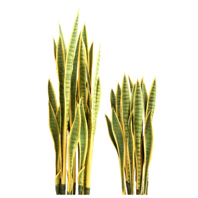 Sansevieria Plant Set Unpotted - Yellow/Green