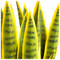 Sansevieria Plant Set Unpotted - Yellow/Green image 3