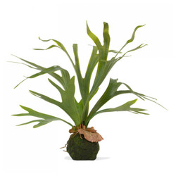 Staghorn Fern w/ Soil Ball - Set of 4