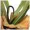 Staghorn Fern w/ Soil Ball - Set of 4 image 1