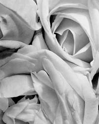 Art Classics Roses