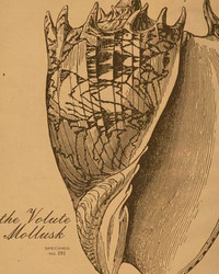 Art Classics Mollusk Etching