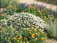 Sonora's Bloom - Wildflower Seed Mix