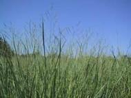 Alamo Switchgrass