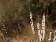 Arizona Cottontop