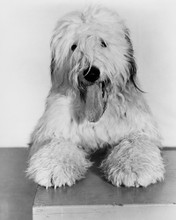 This is an image of Prints & Posters of The Shaggy Dog 106079
