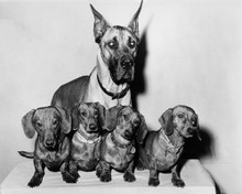 This is an image of Prints & Posters of The Ugly Dachshund 106102