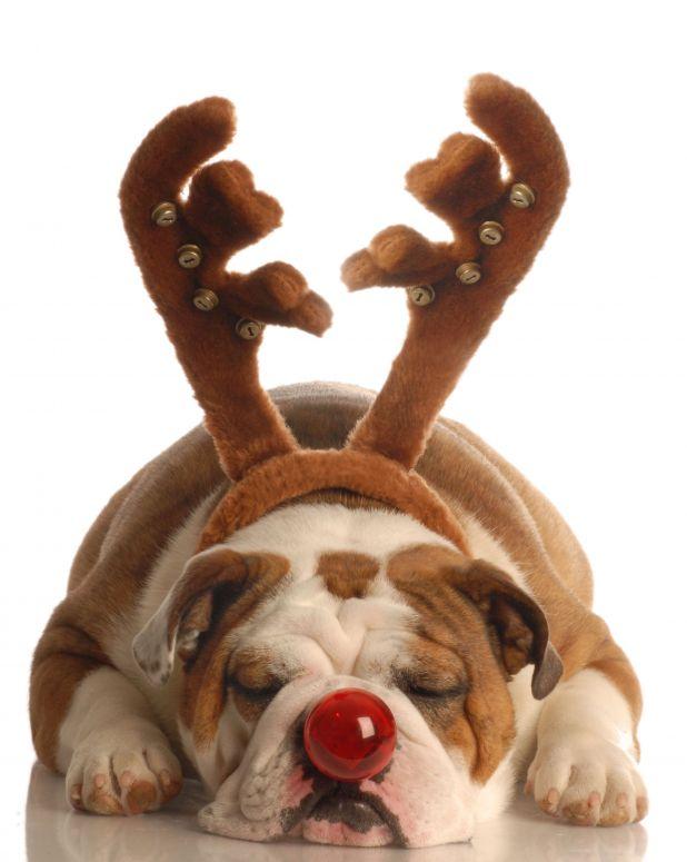 Sleeping English Bulldog w/ Reindeer Antlers