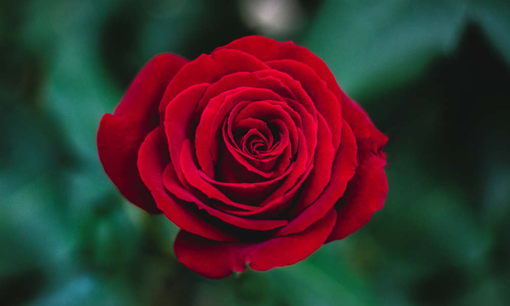 What Do Roses Symbolize Rose Meaning And Symbolism Controse