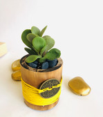 Jade Plant in Yellow