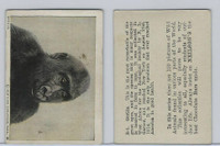V67 Neilson's Chocolate, Wild Animals, 1930's, #B1 Gorilla