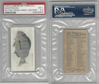 T407 American Tobacco Company, Fish American Waters, 1910, Sheepshead, PSA 5.5