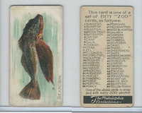 E32 Philadelphia Caramel, Fish, 1907, Searobin