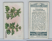 C15 Imperial Tobacco, Gardening Hints, 1923, #15 Disbudding Chrysanthemums