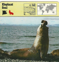 1975 Editions Rencontre, Animals Card, #01.03 Elephant Seal