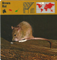 1975 Editions Rencontre, Animals Card, #01.05 Brown Rat