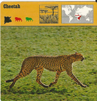 1975 Editions Rencontre, Animals Card, #01.06 Cheetah