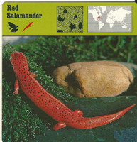 1975 Editions Rencontre, Animals Card, #01.11 Red Salamander