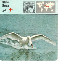 1975 Editions Rencontre, Animals Card, #01.13 Mute Swan
