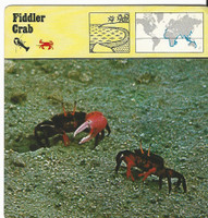 1975 Editions Rencontre, Animals Card, #48.528 Fiddler Crab