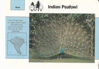 1992 Grolier, Wildlife Adventure Cards, Animals, #1.12 Indian Peafowl