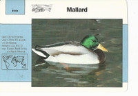 1992 Grolier, Wildlife Adventure Cards, Animals, #1.13 Mallard