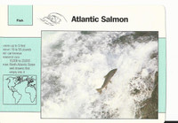 1992 Grolier, Wildlife Adventure Cards, Animals, #1.19 Atlantic Salmon