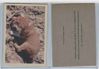 R724-6 Oak M., Premiere Trading -Animals, 1957,  Australian Dingo Puppy