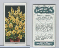 C13 Imperial Tobacco, Flower Culture, 1925, #20 Cytisus or Genista