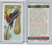 F450-5 Brooke Bond, Tropical Birds, 1964, #41 Montezuma Oropendola